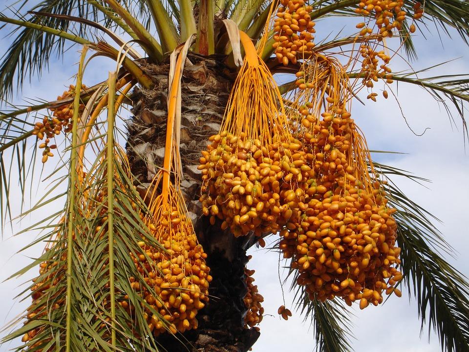 date-palm-223247_960_720