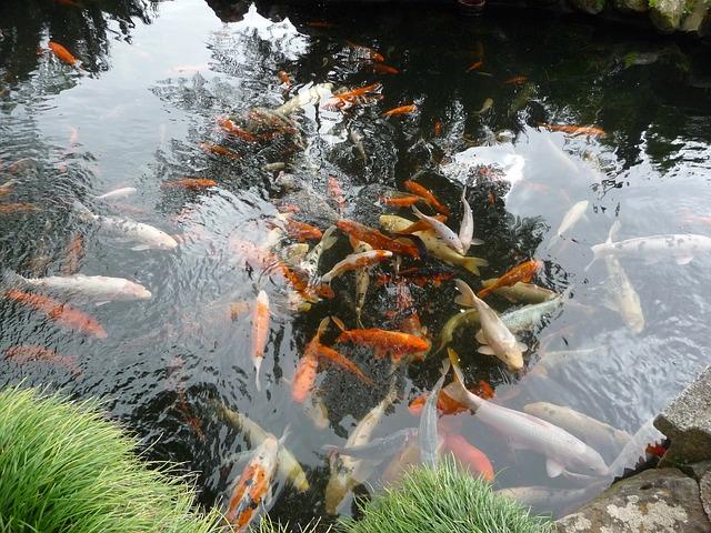 ryby v zahradním jezírku
